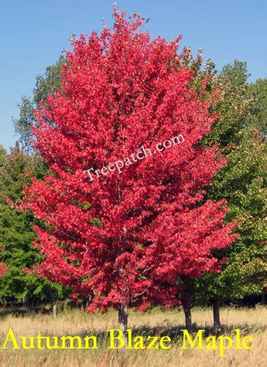 maple tree vs autumn blaze 236 best images about trees on trees white flowers and hedges