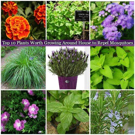 top 10 plants worth growing around house to repel