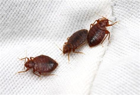 Does Lavender Kill Bed Bugs by 7 Home Remedies To Combat Bed Bugs Travelling