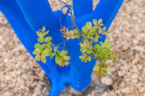 trees denver downtown denver trees will turn blue this april 303 magazine
