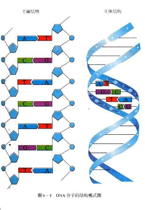 diagram and label a section of dna biochem quiz 5 biochemistry 2580 with dawson wijekoon at