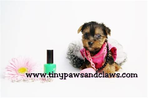 yorkie dew claw removal registered