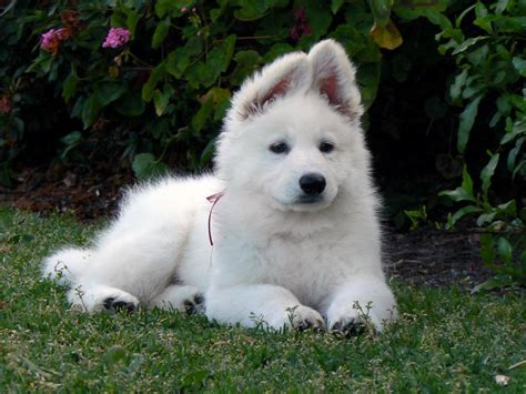 white shepherd american white shepherd puppies rescue pictures information temperament