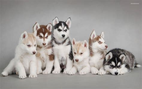 fluffy husky puppies fluffy husky puppies in snow wallpaper