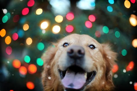 3742 dog hd wallpapers background images wallpaper abyss 336 golden retriever hd wallpapers background images