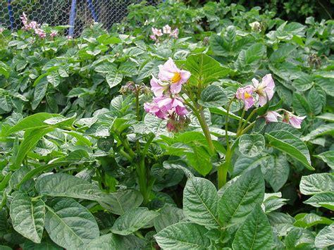 file sweet potato flower and buds jpg wikimedia commons file potato flowers 77 jpg wikimedia commons