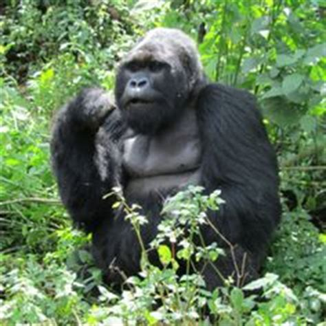 amazon rainforest animals gorilla rain forest animals on pinterest tropical rain forest