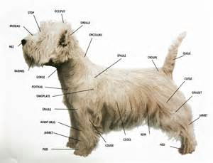 elevage familial de westies west highland white terrier