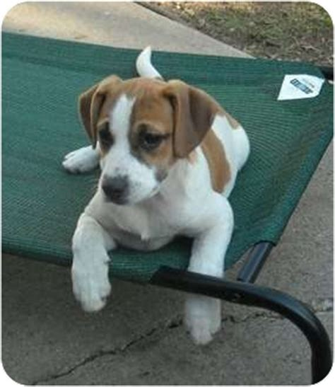 boxer beagle puppy beagle mixed with boxer puppy