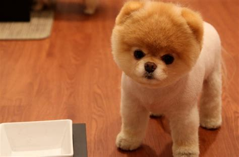 pomeranian disposition pomeranian puppies rescue pictures information temperament litle pups