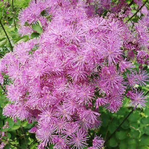 meadow rue flower essence flower essences flower