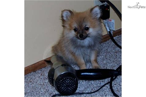 teacup pomeranian puppies for sale in indiana pomeranian for sale for 500 near muncie indiana 87d0b4fc b581