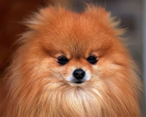 small pomeranian dogs all small dogs images pomeranian hd wallpaper and background photos 18774580