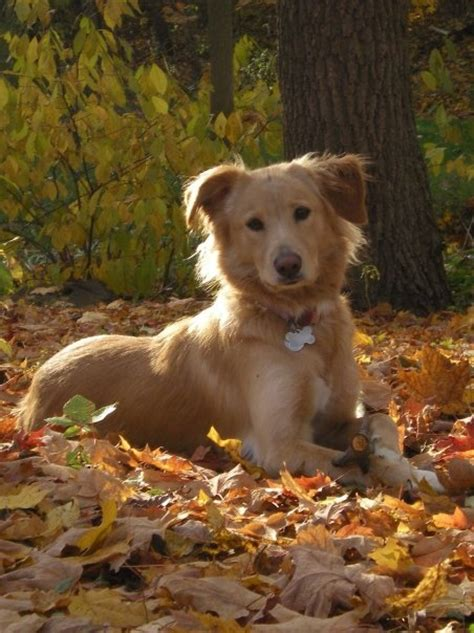 golden retriever collie mix for sale golden border collie dogs i like