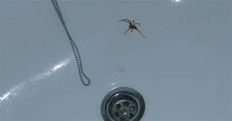 giant spider in bathroom finding life hard how long can spiders survive without food