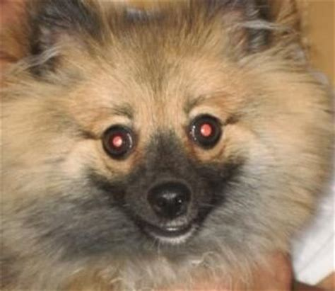 congestive failure in pomeranians 17 best images about spitz aawe doptables on chow chow adoption and