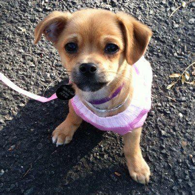 nj puppy rescue cara zamorski home for rescue hip new jersey