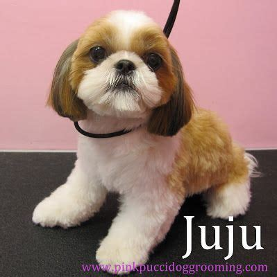 list of shih haircut 17 best images about shih tzu wonderland on pinterest