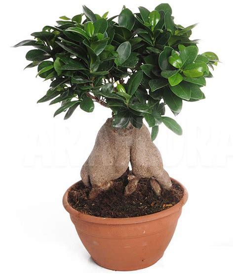 Home Improvement Online Free mpro tech mixed colour ficus ginseng banyan tree bonsai