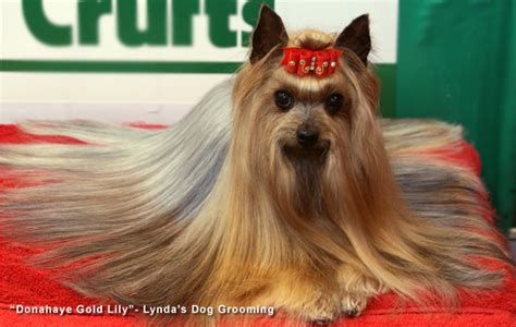yorkie frequent how to groom a terrier my friend is a