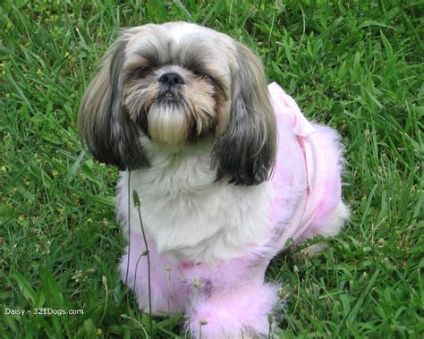 shih tzu pic shih tzu images shih tzu hd wallpaper and background photos 13713253