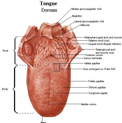 diagram of the tongue geographic tongue anatomy anatomy