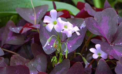 Purple Cover by Growing Oxalis Indoors And Out Garden
