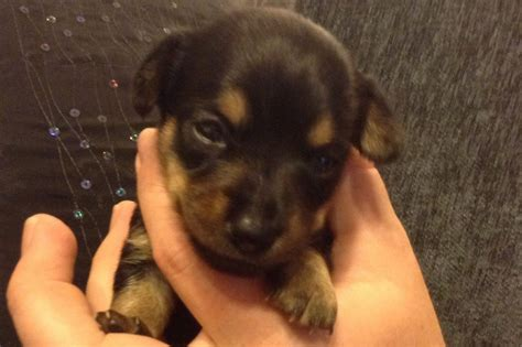 pet dogs and puppies for sale in walsall west midlands adverts 2 chiweenie pups 1 girl and 1 boy walsall west