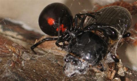 Do Spiders Eat Bed Bugs by Black Widow Snares Bess Beetle What S That Bug