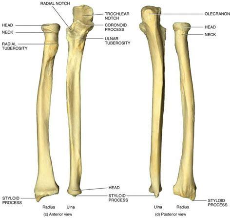 radius and ulna diagram radius and ulna diagram anatomy organ