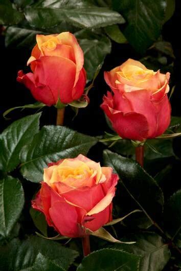 Jual Bibit Bunga Mawar Import jual benih bibit bunga mawar equador equador