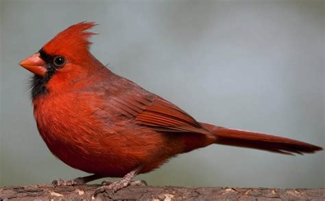 how birds became red