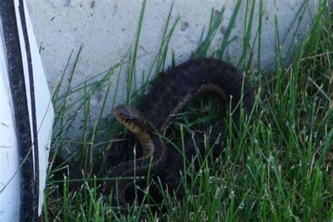 snake in the backyard garter snake in my backyard diy