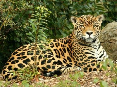imagenes jaguares selva jaguar de la selva lacandona chiapas m 233 xico tuxtla gtz