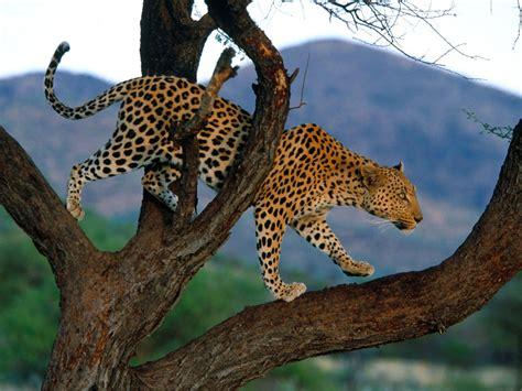 Gamis Leopard jagat kucing panthera pardus macan tutul