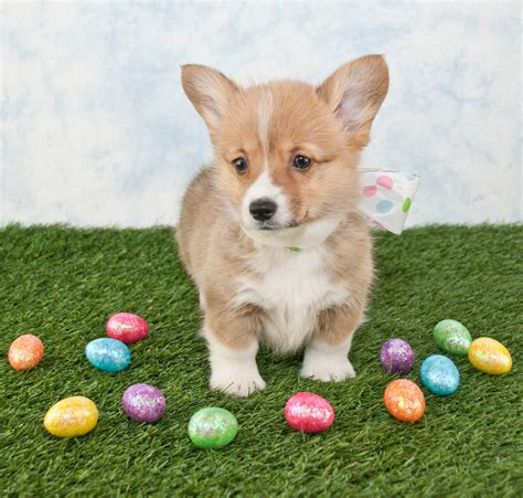 easter puppy 25 dogs who are posing for their easter greeting cards dogtime