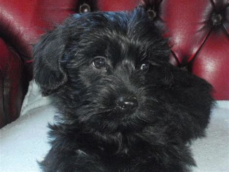 poodle x yorkie poodle x terrier puppy ready now spalding lincolnshire pets4homes