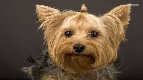 free yorkie puppy terrier wallpapers hd