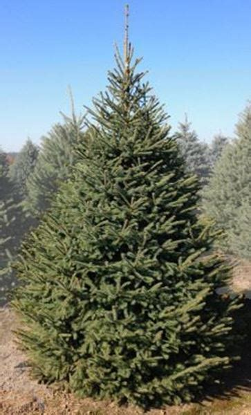 black hills spruce christmas tree christmas decore