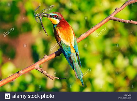 bird with colored beak rainbow colored bird with insect dragonfly in its beak