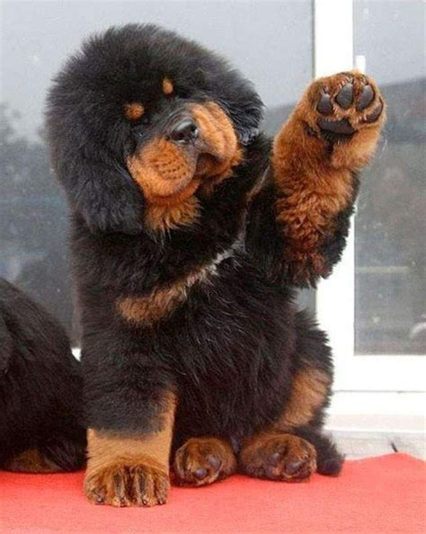 tibetan mastiff puppy 25 best ideas about tibetan mastiff on tibetan mastiff dogs and