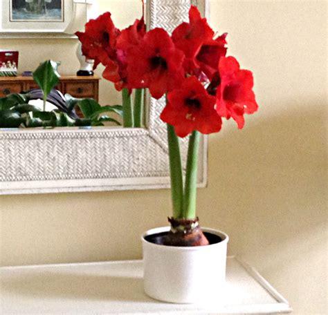 amaryllis plant care in hydroponics