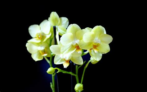 orchid flower image hd wallpaper stock