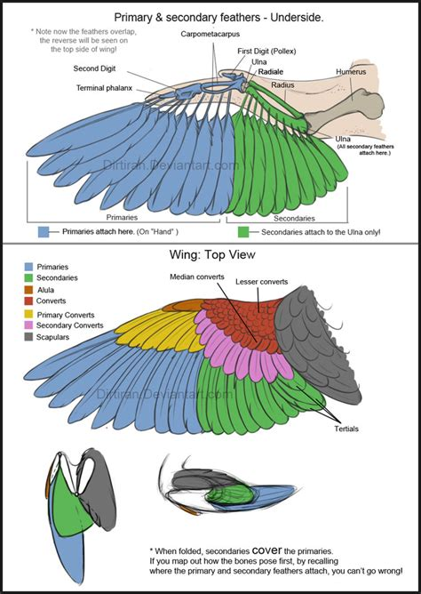 bird wing diagram bird wings tutorial by key feathers on deviantart