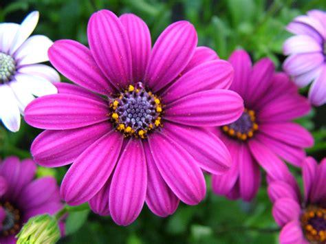 grandi fiori sanremo buongiorno premio d onore per fiori recisi e