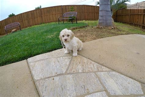 ozzy doodle puppy ozzy goldendoodle puppy for sale near san diego