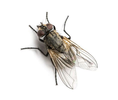 house fly get rid of house flies house fly control information