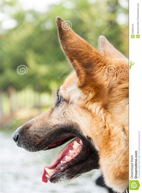 german shepherd breed haired black german shepherd breed breeds picture
