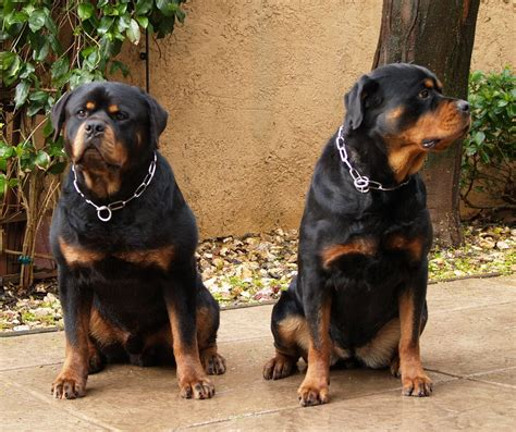 rottweiler breeders in northern california rottweiler puppies southern california 4k wallpapers