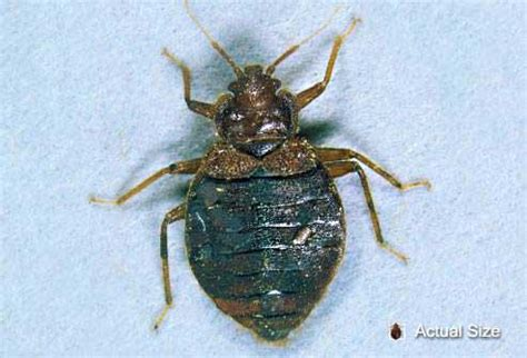 bed bug epidemic in a gila valley bed bug epidemic how to prevent the bite gilavalleycentral net